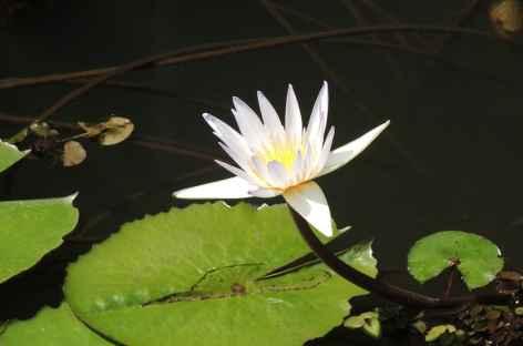 Flore aquatique, Inde du Sud -