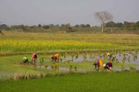 Repiquages du Riz - Orissa, Inde -