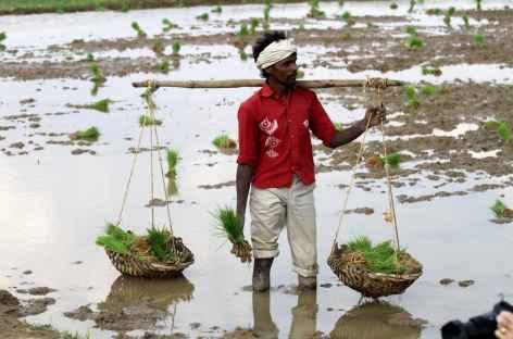 Travail du riz - Orissa, Inde -