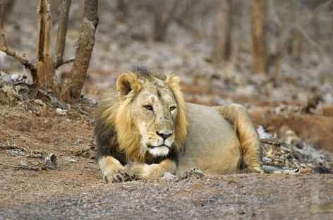 Lion du Gujarat -