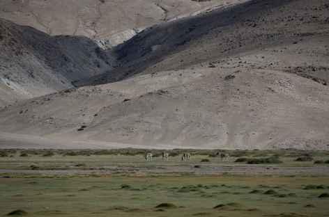 Kyangs des Hauts plateaux,  Ladakh - Inde -