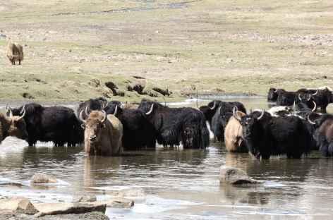 Yaks au frais - Ladakh, Inde -
