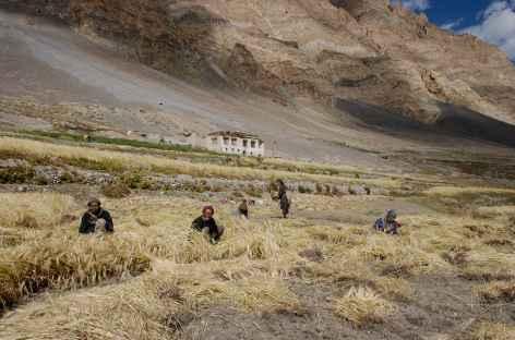 Récolte - Ladakh, Inde -