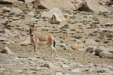 Kyang ( Âne sauvage) - Ladakh, Inde -