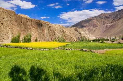 Orge et moutarde - Ladakh, Inde -