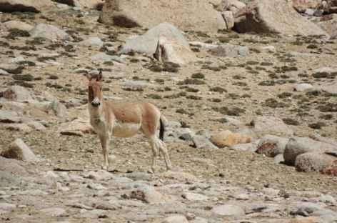 Kyang du Changtang, Ladakh - Inde -