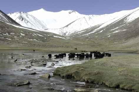 Yak dans la vallée de Markha -