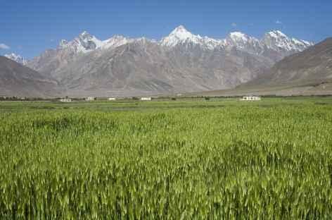 Champ d'orge dans la vallée de Padum, Ladakh, Zanskar- Inde -