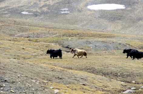 Yaks, Ladakh - Inde -