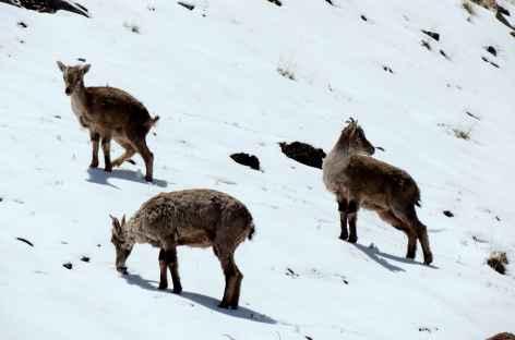 Jeunes moutons bleus, Ladakh - Inde -