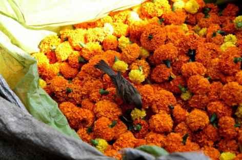 Oeillets d'Inde - Calcutta, Inde -