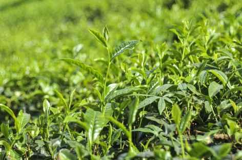 Jeune pousse de thé, Darjeeling -