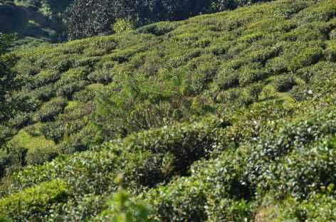 Premiers champs de thé, Darjeeling -