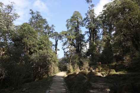 Balade en forêt, Sikkim -