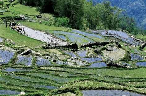 Rizières en terrasse, Sikkim -