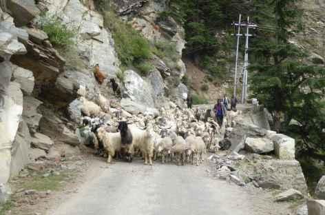 Troupeau de mouton sur la route - Inde -