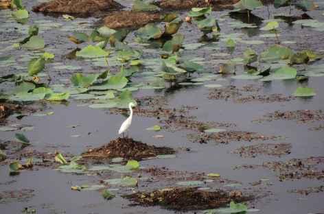 Le lac Pangarh est l'habitat de nombreux oiseaux, Rajasthan -