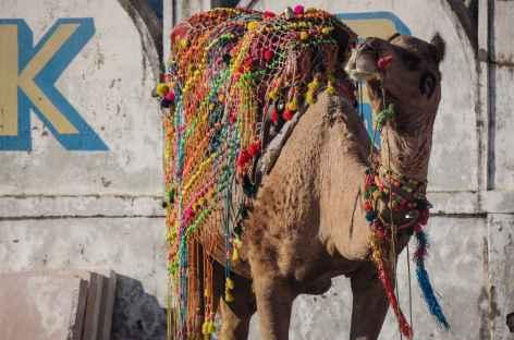 Monture du désert à Pushkar, Rajasthan -
