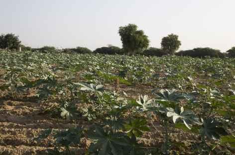 Culture de ricin dans le désert du Thar -
