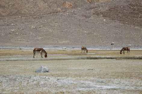 Kiang - Ladakh -