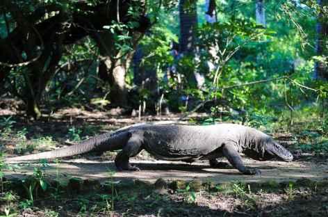 Dragon de Komodo... - Indonésie -