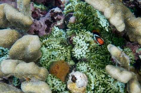 Poisson-clown - Indonésie -