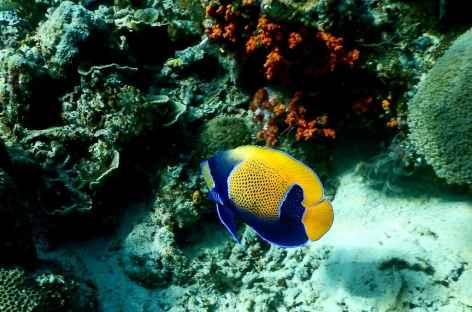 Poisson-ange - Indonésie -