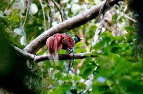 Oiseau du paradis ou paradisier, Raja Ampat - Indonésie -