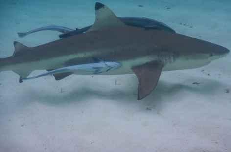 Requin à pointe noire,  Raja Ampat - Indonésie -