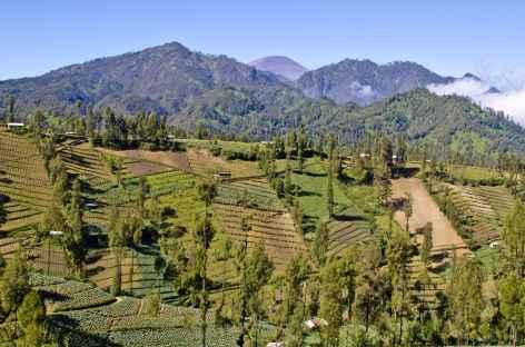 Plantations d'altitude, en arrière plan le volcan Semeru, Java - Indonésie -