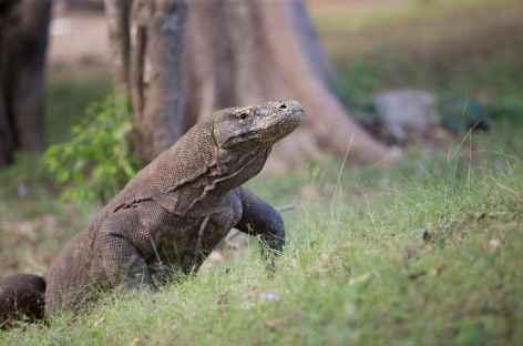Pistage des varans de Komodo sur l'île de Rinca, archipel de Komodo - Indonésie -