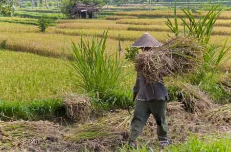 Travaux des champs, Bali - Indonésie -