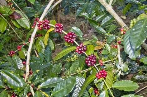Plantation de cafés, Bali, Bali - Indonésie -