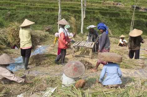 Récolte du riz, Bali - Indonésie -