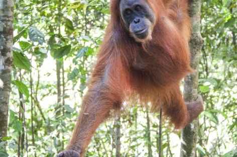 Orang-outan, Parc national du Mont Leuser, Sumatra - Indonésie -