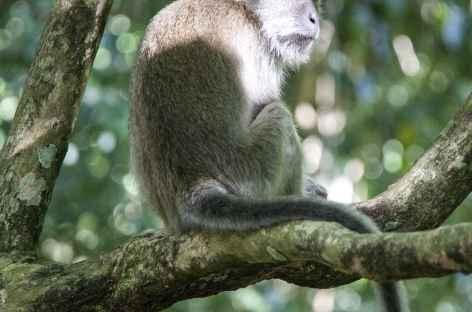 Babouin dans le Parc national du Mont Leuser, Sumatra - Indonésie -
