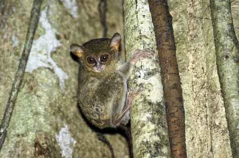 Tarsier, plus petit mammifère de la planète, Parc national de Tangkoko, Sulawesi - Indonésie -