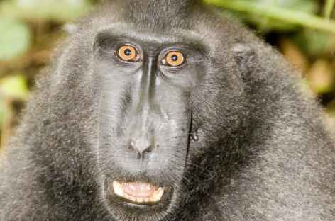Macaque noir, espère endémique, Parc national de Tangkoko, Sulawesi - Indonésie -