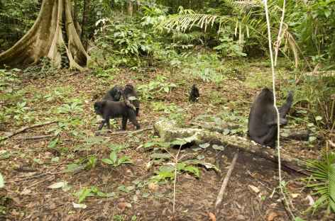 Macaques noirs, espère endémique, Parc national de Tangkoko, Sulawesi - Indonésie -