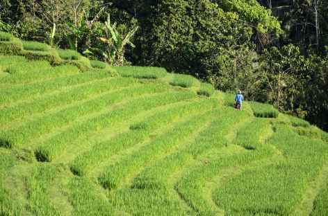 Rizières vers Munduk, Bali - Indonésie -