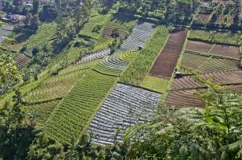 Plantations de Tawangmangu, Java - Indonésie -