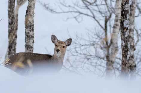Daim, Parc national d'Akan, Hokkaido - Japon -