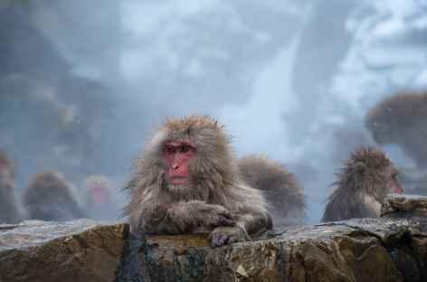 Macaques des neiges à Jigokudani, Alpes Japonaises - Japon -