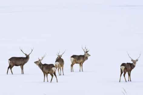 Cerfs Sika, péninsule de Notsuke, Hokkaido - Japon -