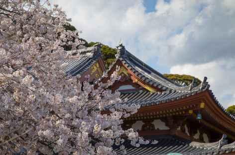 Cerisiers en fleur à Kamakura - Japon -