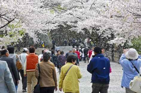 Les cerisiers en fleur - Japon -