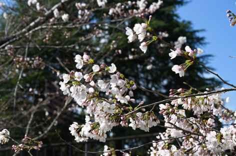 Floraison des cerisiers ou sakura - Japon -