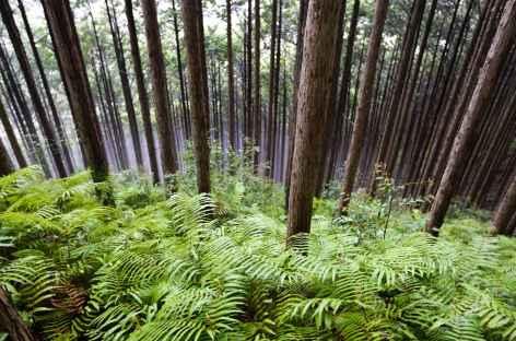 Sous-bois sur les chemins sacrés de Kumano Kodo - Japon -