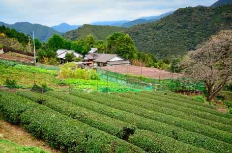Plantations de thé sur les chemins sacrés de Kumano Kodo - Japon -
