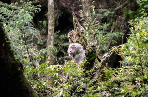 Singes yakusaru, île de Yakushima - Japon -